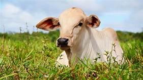 Orientação na produção de gado de corte